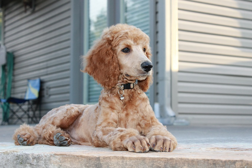 Apricot poodle nose color